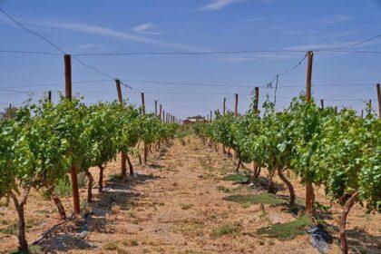 Vino-del-desierto-historia-2016-registro-cepas